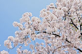 Beautiful branch of blooming cherry — Stock Photo
