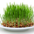 Wheat seeds with green sprouts - Stock Photo
