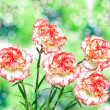 Carnation flower — Stock Photo