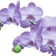 Orchid — Stock Photo #8050476