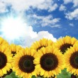 Sunflower background - Stock Photo