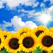 Sunflower background — Stock Photo #8141030