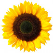 Sunflower — Stock Photo #8288333