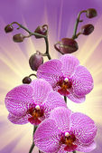 Closeup of orchid flower — Stock Photo
