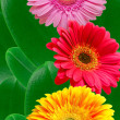 Gerber flowers - Stock Photo
