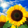 Sunflower background — Stock Photo #8830326