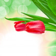 Closeup of tulip flower - Stock Photo