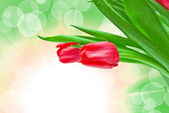 Closeup of tulip flower — Stock Photo