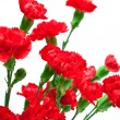 Stock Photo: Carnation flower