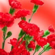 Carnation flower — Stock Photo #9183596