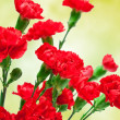 Carnation flower — Stock Photo #9798592