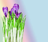 Flor de azafrán — Foto de Stock