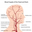 Blood supply of the head and neck, eps8 - Stock Vector