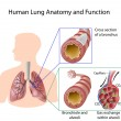 Royalty-Free Stock Vector Image: Human lung anatomy and function, eps8