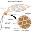 图库矢量图片: Anatomy of a nerve, eps8