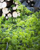 Rimozione di rami di albero — Foto Stock