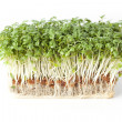 Stock Photo: Fresh Sprouts