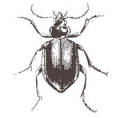 Beetles - vintage engraved illustration — Stock Vector