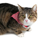 Sweet cat with bandana — Foto Stock