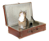 Fascinated little cat in old suitcase — Stock Photo