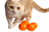 British shorthair cat, 7 months old with tangerine — Stock Photo