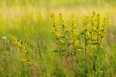 Golden-rod close up. — Stock Photo