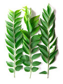 Curry leaves — Stok fotoğraf