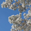 Branches of pine in frost — Stock Photo