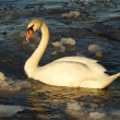 Swan on frozen lake — Stock Photo
