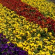 Flower bed from pansies — Stock Photo