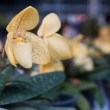 Yellow orchid flowers in row — Stock Photo #8420760