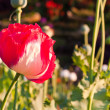 Red opium flower — Stockfoto