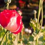 opium czerwony kwiat — Zdjęcie stockowe
