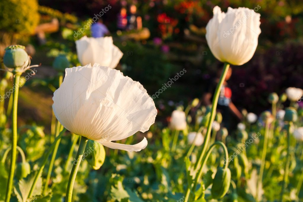 White opium flowers in the rural field — Lizenzfreies Foto #8420903