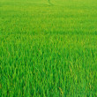 Stock Photo: Green paddy field