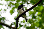 Magpie hang on tree branch — Stock Photo