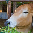 Brown cow eating grass — Stock Photo #9302331
