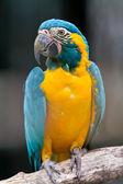 Mavi boğazlı Amerika papağanı — Stok fotoğraf