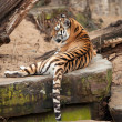 A tiger — Stock Photo #9257632