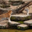 Fight of two siberitigers — Stock Photo #9257943