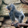 Angry mandrill — Stock Photo