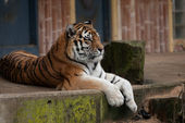Wielki tygrys — Zdjęcie stockowe