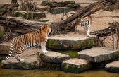 Fight of two siberian tigers — Stock Photo