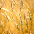 Stockfoto: Wheat field