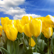 Field of yellow tulips — Stock Photo