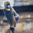 Young mandrill - Stock Photo