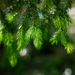 Stock Photo: Sunny glitter pine brunches with water drops for background