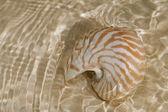 Dalga deniz kabuğu nautilus — Stok fotoğraf