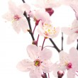 Pink cherry blossom (sakura flowers), isolated on white — Stock Photo #10237838