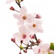 Pink cherry blossom (sakura flowers), isolated on white — Stock Photo #10237845